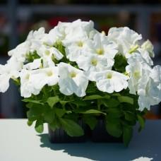 петуния-белая