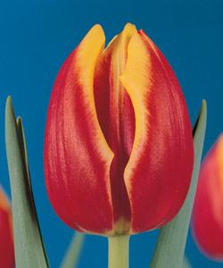 Фото тюльпан доу джонс