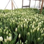 белая поляна