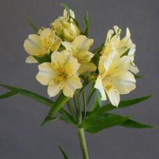 Альстромерия желтая