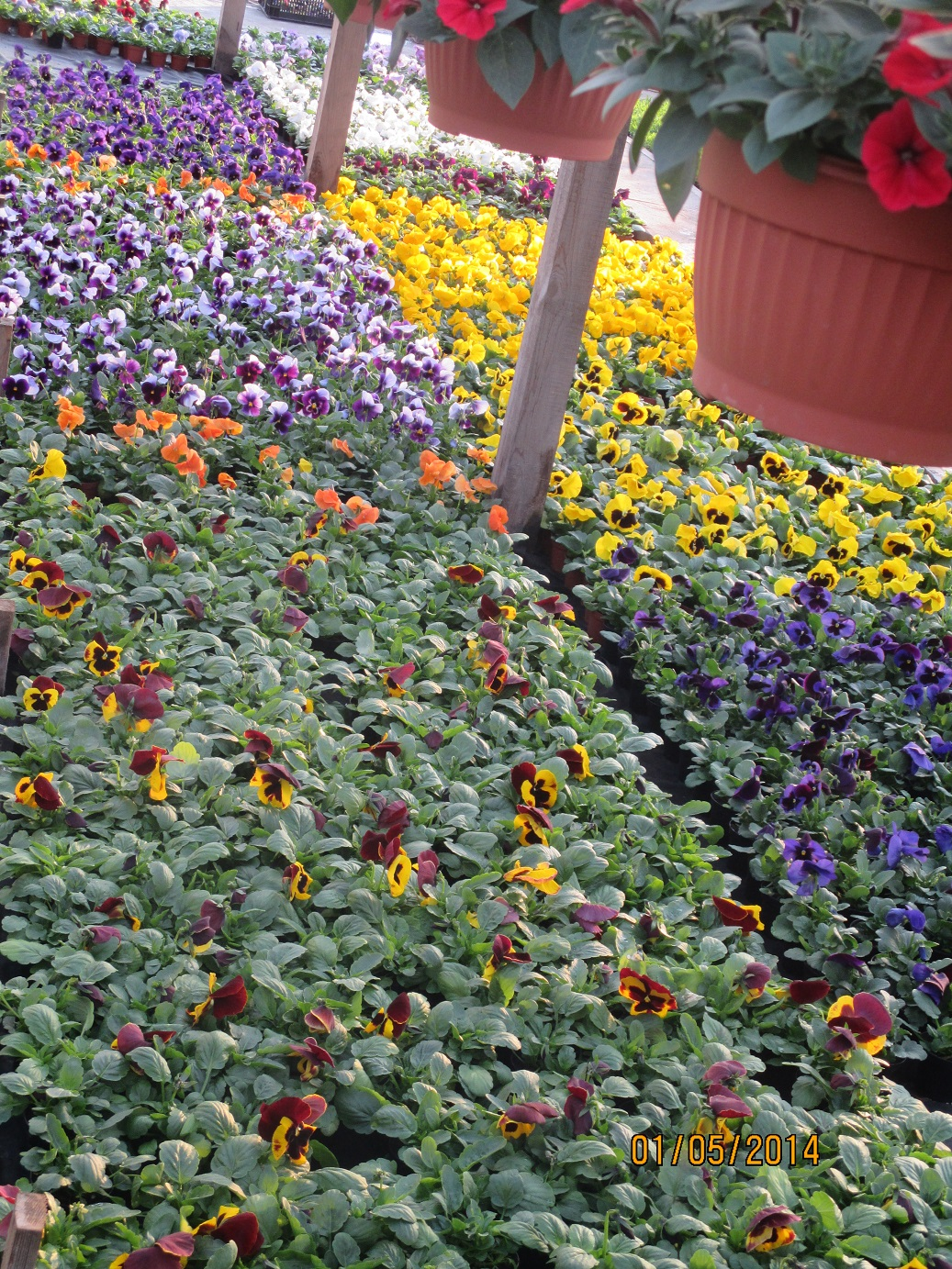 Рассада однолетних цветов фото с названиями 121