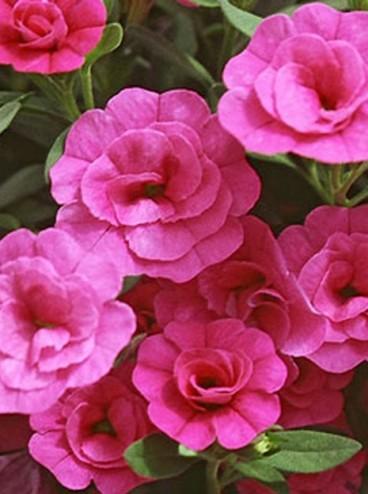 Kalibrahoa-Aloha-Double-Pink