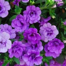 Kalibrahoa-Aloha-Double-lavender