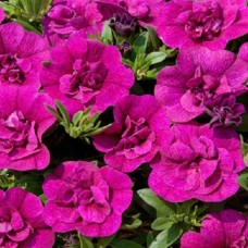 Kalibrahoa-Aloha-Double-purple