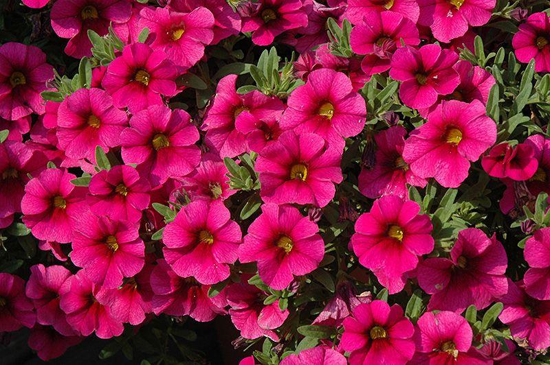цветочная рассада новосибирск