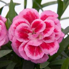 Oscar Violet & Pink