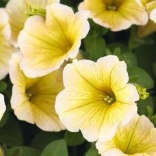 Potunia Yellow