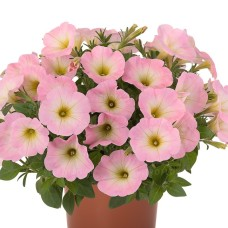 Sweetunia-Baby-Pink